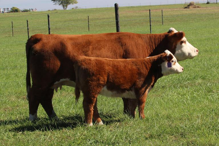 KLD Mini Herefords
