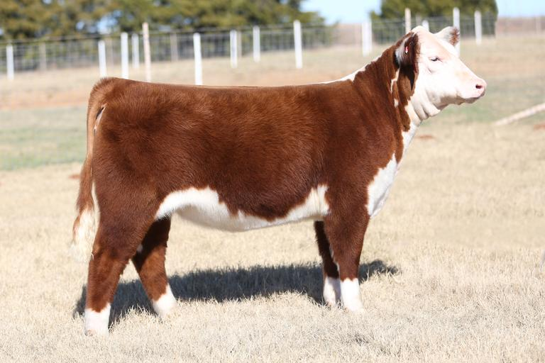 Vanderwork Herefords