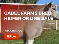 Gabel Farms Online Bred Heifer Sale - Colorado