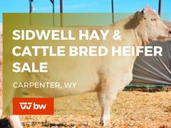 Sidwell Hay and Cattle Online Bred Heifer Sale - Wyoming