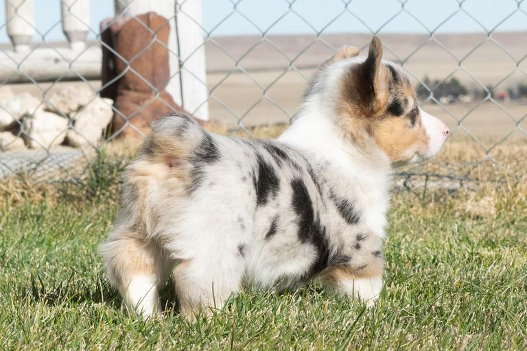 *NOT IN THE SALE* but just wnted to let you know that we have CKC registered merle and tri Corgi puppies for sale contact Linda or Jerry for more information.