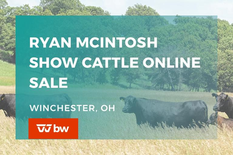 Ryan McIntosh Show Cattle Online Sale - Ohio