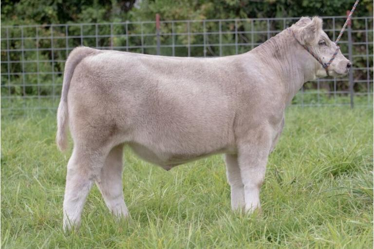 Tyler Peron Show Cattle