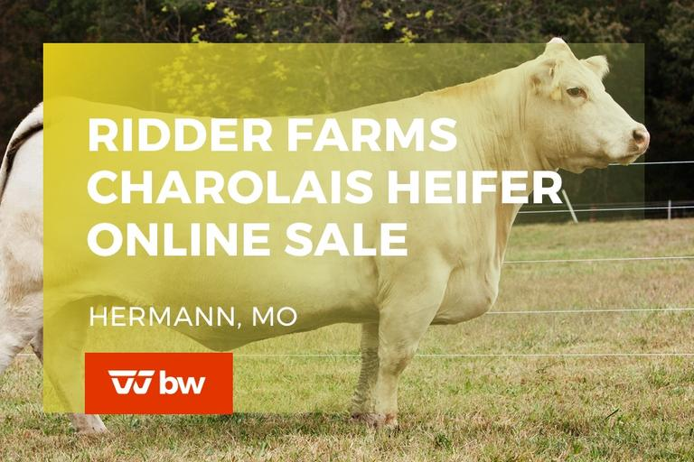 Ridder Farms Charolais Heifer Online Sale - Missouri