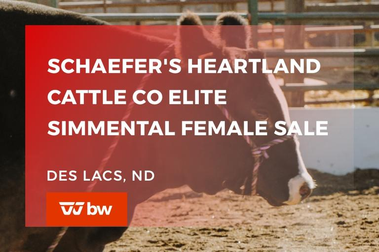 Schaefer's Heartland Cattle Co Elite Simmental Female Sale - North Dakota