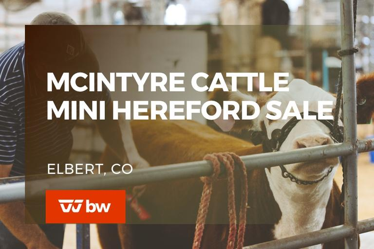 McIntyre Cattle Online Mini Hereford Sale - Colorado
