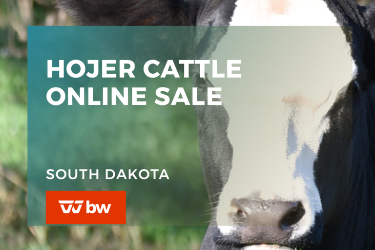 Hojer Cattle Online Sale - South Dakota
