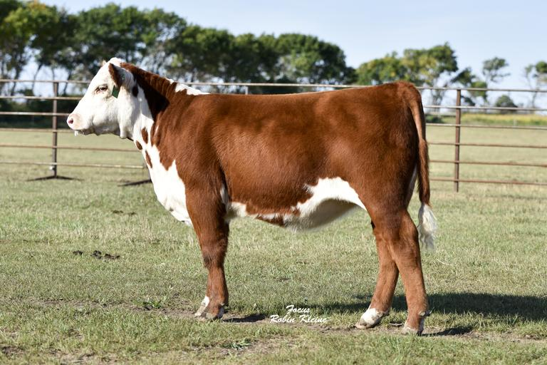 Blume Show Cattle
