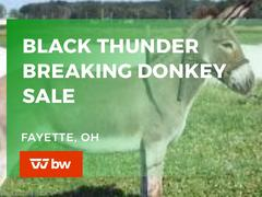 Black Thunder Breaking Donkeys & Powers Show Stock Steer & Heifer Online Sale - Ohio