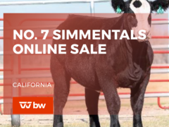 No. 7 Simmentals Online Sale - California