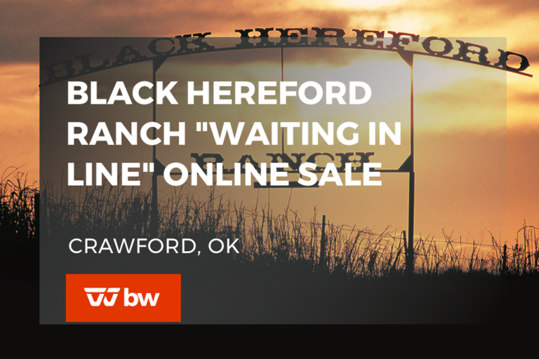 "Black Hereford Ranch ""Waiting in Line"" Online Sale - Oklahoma"