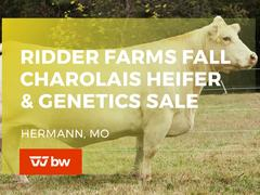 Ridder Farms Online Fall Charolais Heifer and Genetics Sale - Missouri