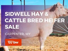 SIDWELL HAY AND CATTLE FORT WORTH STOCK SHOW COMMERCIAL FEMALE SALE CONSIGNMENTS (VIEW ONLY)