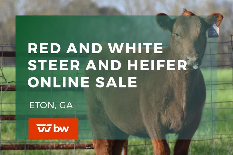 Red and White Steer and Heifer Online Sale - Georgia