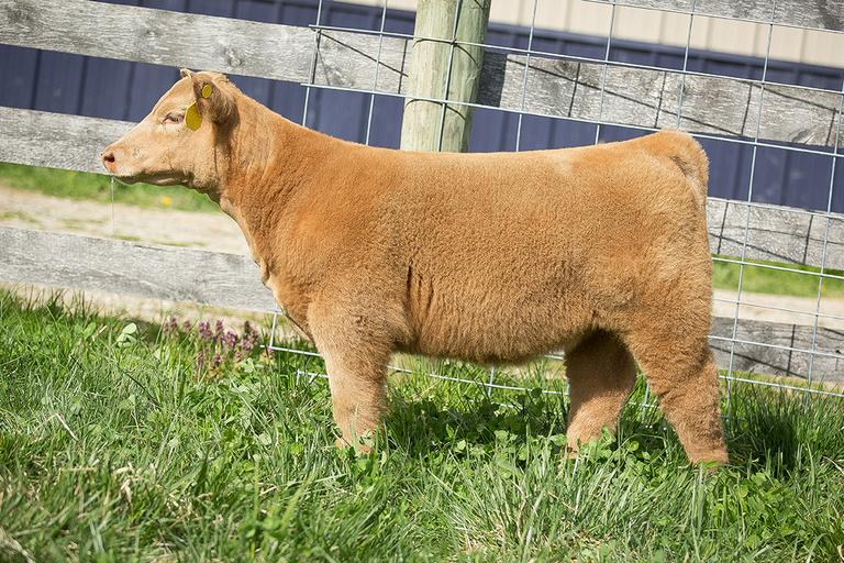 Hauke Show Cattle