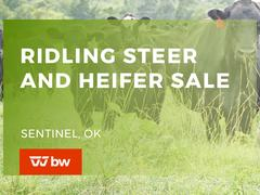 Ridling Steer and Heifer Online Sale - Oklahoma