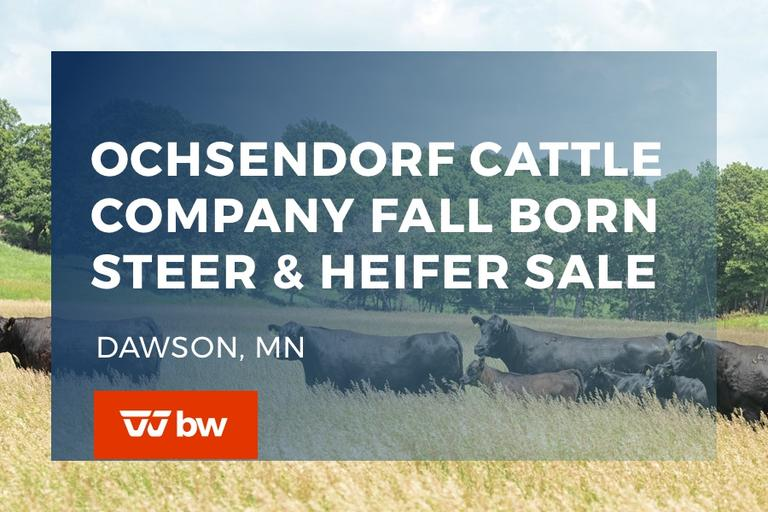 Ochsendorf Cattle Online Fall Born Steer & Heifer Sale - Minnesota