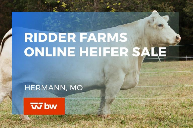 Ridder Farms Charolais Heifer and Genetics Sale -Missouri