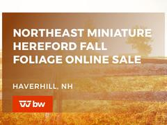 Northeast Miniature Hereford Fall Foliage Online Sale - New Hampshire