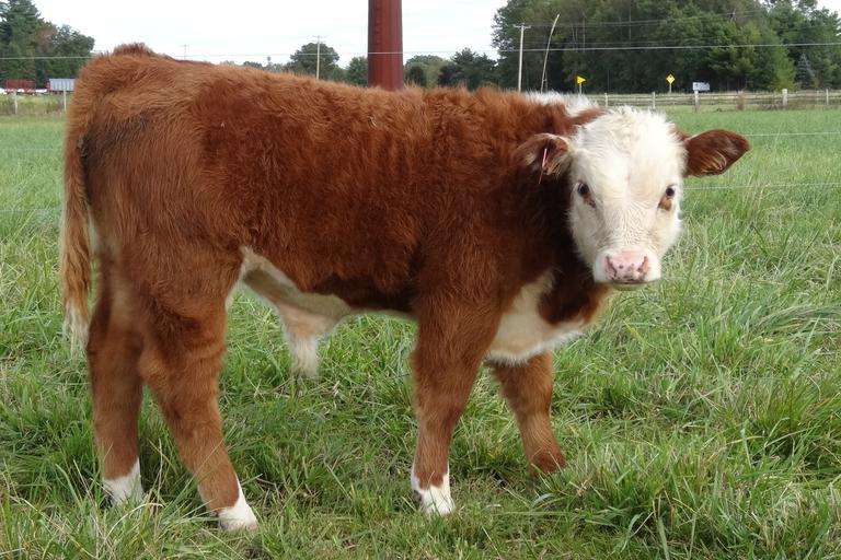 Barkows Miniature Herefords