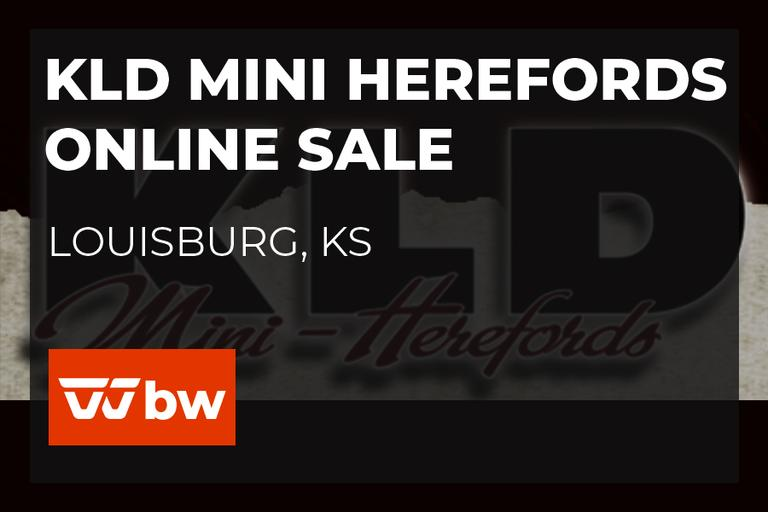 KLD Mini Herefords Online Sale - Kansas