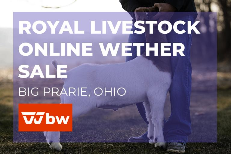 Royal Livestock Online Wether Sale - Ohio