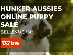Hunker Aussies Online Puppy Sale - Ohio