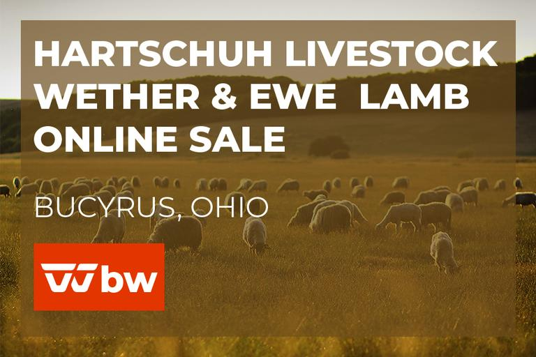 Hartschuh Livestock Wether and Ewe Lamb Online Sale - Ohio