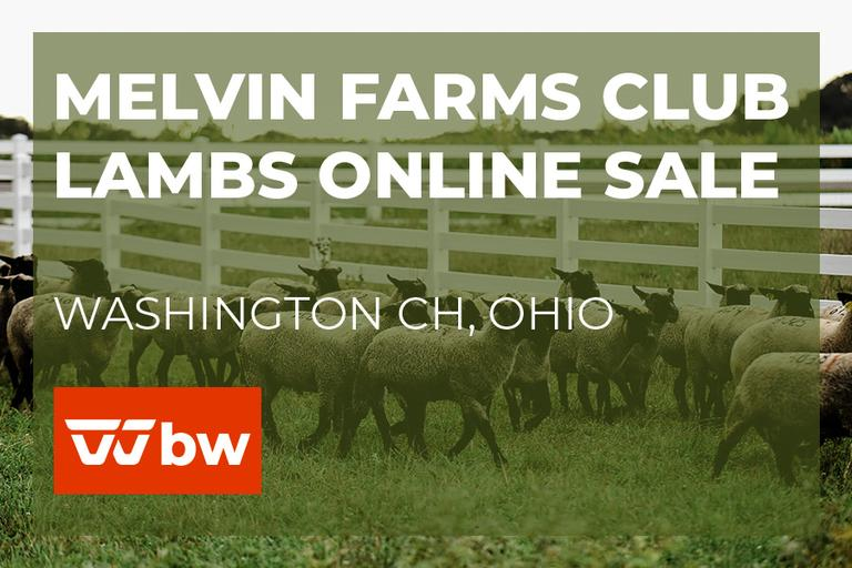 Melvin Farms Club Lambs Online Sale - Ohio